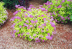 Goldmound Spirea (Spiraea japonica 'Goldmound') at America's Best Flowers