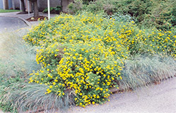 Goldfinger Potentilla (Potentilla fruticosa 'Goldfinger') at America's Best Flowers
