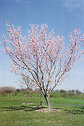 Moongold Apricot (Prunus 'Moongold') at America's Best Flowers