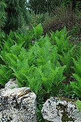 Ostrich Fern (Matteuccia struthiopteris) at America's Best Flowers
