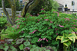 Common Bleeding Heart (Dicentra spectabilis) at America's Best Flowers