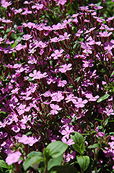 Rock Soapwort (Saponaria ocymoides) at America's Best Flowers