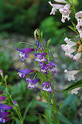 Rondo Mix Beard Tongue (Penstemon 'Rondo Mix') at America's Best Flowers
