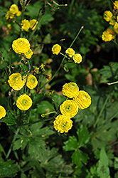 Yellow Bachelor's Button (Ranunculus acris 'Flore Plena') at America's Best Flowers