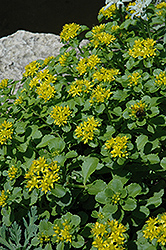 Russian Stonecrop (Sedum kamtschaticum) at America's Best Flowers