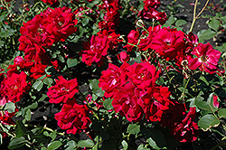 Champlain Rose (Rosa 'Champlain') at America's Best Flowers