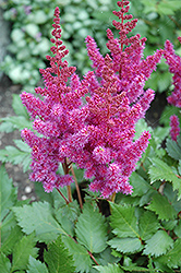 Visions Astilbe (Astilbe chinensis 'Visions') at America's Best Flowers