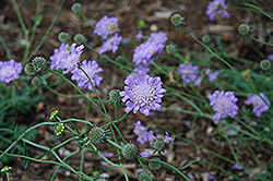 Butterfly Blue Pincushion Flower (Scabiosa 'Butterfly Blue') at America's Best Flowers
