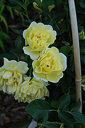 Yellow Submarine Rose (Rosa 'Yellow Submarine') at America's Best Flowers