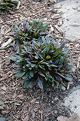 Chocolate Chip Bugleweed (Ajuga reptans 'Chocolate Chip') at America's Best Flowers