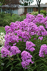 Little Boy Garden Phlox (Phlox paniculata 'Little Boy') at America's Best Flowers