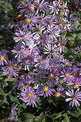 Bluebird Aster (Aster laevis 'Bluebird') at America's Best Flowers