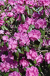 P.J.M. Rhododendron (Rhododendron 'P.J.M.') at America's Best Flowers