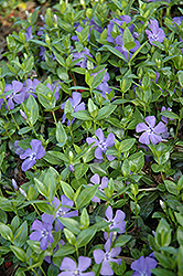 Dart's Blue Periwinkle (Vinca minor 'Dart's Blue') at America's Best Flowers