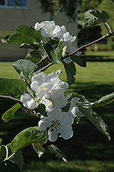Macintosh Apple (Malus 'Macintosh') at America's Best Flowers