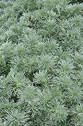 Silver Mound Artemesia (Artemisia schmidtiana 'Silver Mound') at America's Best Flowers