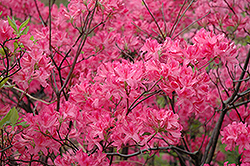 Northern Lights Azalea (Rhododendron 'Northern Lights') at America's Best Flowers