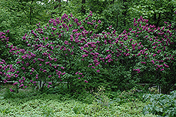 Charles Joly Lilac (Syringa vulgaris 'Charles Joly') at America's Best Flowers