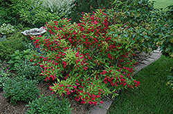 Red Prince Weigela (Weigela florida 'Red Prince') at America's Best Flowers