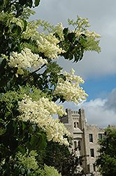 Ivory Silk Japanese Tree Lilac (Syringa reticulata 'Ivory Silk') at America's Best Flowers