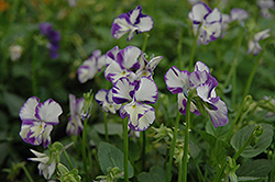 Columbine Pansy (Viola 'Columbine') at America's Best Flowers