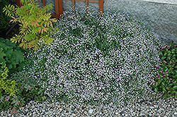 Common Baby's Breath (Gypsophila paniculata) at America's Best Flowers