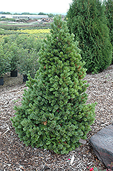 Sherwood Compact Bristlecone Pine (Pinus aristata 'Sherwood Compact') at America's Best Flowers