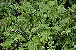 Christmas Fern (Polystichum acrostichoides) at America's Best Flowers