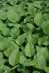 Royal Standard Hosta (Hosta 'Royal Standard') at America's Best Flowers