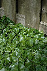 European Wild Ginger (Asarum europaeum) at America's Best Flowers