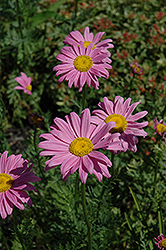 Robinson's Pink Painted Daisy (Tanacetum coccineum 'Robinson's Pink') at America's Best Flowers