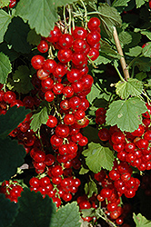 Red Lake Red Currant (Ribes sativum 'Red Lake') at America's Best Flowers
