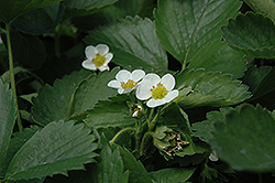 Everbearing Strawberry (Fragaria 'Everbearing') at America's Best Flowers