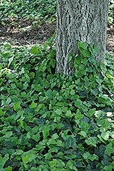 Baltic Ivy (Hedera helix 'Baltica') at America's Best Flowers
