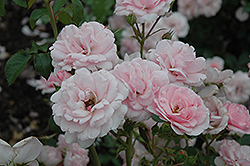 Bonica® Rose (Rosa 'Meidomonac') at America's Best Flowers