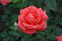 Tropicana Rose (Rosa 'Tropicana') at America's Best Flowers