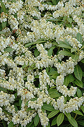 Cavatine Dwarf Japanese Pieris (Pieris japonica 'Cavatine') at America's Best Flowers