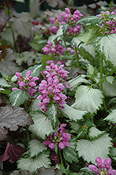 Ghost Spotted Dead Nettle (Lamium maculatum 'Ghost') at America's Best Flowers