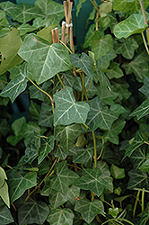Thorndale Ivy (Hedera helix 'Thorndale') at America's Best Flowers