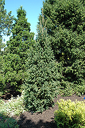 Columnar Norway Spruce (Picea abies 'Cupressina') at America's Best Flowers