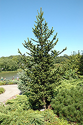 Hillside Upright Spruce (Picea abies 'Hillside Upright') at America's Best Flowers