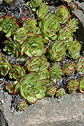 Hens And Chicks (Sempervivum tectorum) at America's Best Flowers