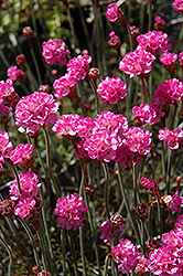 Red-leaved Sea Thrift (Armeria maritima 'Rubrifolia') at America's Best Flowers