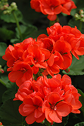 Patriot Orange Geranium (Pelargonium 'Patriot Orange') at America's Best Flowers
