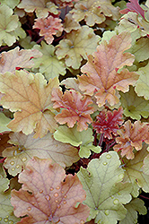 Marmalade Coral Bells (Heuchera 'Marmalade') at America's Best Flowers