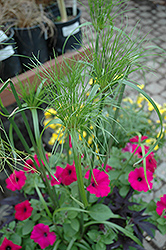 King Tut Egyptian Papyrus (Cyperus papyrus 'King Tut') at America's Best Flowers