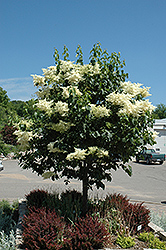 Snowdance™ Japanese Tree Lilac (Syringa reticulata 'Bailnce') at America's Best Flowers