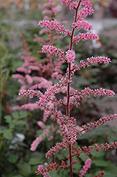 Color Flash Astilbe (Astilbe x arendsii 'Color Flash') at America's Best Flowers