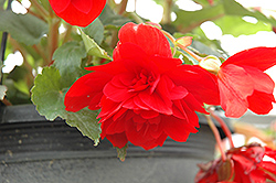 Illumination® Scarlet Begonia (Begonia 'Illumination Scarlet') at America's Best Flowers