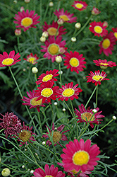 Madeira Red Marguerite Daisy (Argyranthemum frutescens 'Madeira Red') at America's Best Flowers